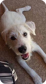Schnauzer (Standard)/Poodle (Miniature) Mix Dog for adoption in Chandler, Arizona - Costello