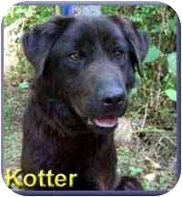Flat-Coated Retriever Mix Dog for adoption in Aldie, Virginia - Kotter