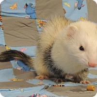 Adopt A Pet :: Asuma - Carlton, OR