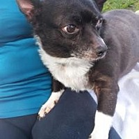 Chihuahua Mix Dog for adoption in Loxahatchee, Florida - Shaquille