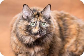 Domestic Longhair Cat for adoption in Chesapeake, Virginia - Puff 35113355
