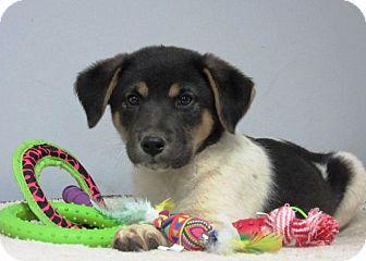 Newfoundland/German Shepherd Dog Mix Puppy for adoption in Oswego, Illinois - I'M ADOPTED Alex