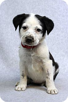 Retriever (Unknown Type)/Blue Heeler Mix Puppy for adoption in Westminster, Colorado - Connie