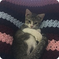 Domestic Shorthair Kitten for adoption in Louisville, Kentucky - Matilda