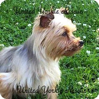 Yorkie, Yorkshire Terrier Dog for adoption in Greendale, Wisconsin - Sammi