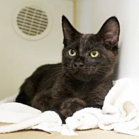 Adopt A Pet :: Shadow - Atlanta, GA