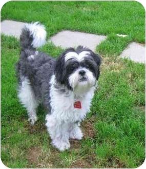 Shih Tzu/Lhasa Apso Mix Dog for adoption in Ile-Perrot, Quebec - Jarvis