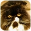 Photo 2 - Persian Cat for adoption in Beverly Hills, California - Tesla