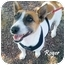 Photo 2 - Jack Russell Terrier/Corgi Mix Dog for adoption in Chester, Maryland - Roger