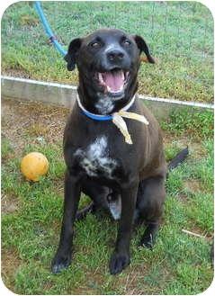 Labrador Retriever Mix Dog for adoption in kennebunkport, Maine - Artie - Pending!
