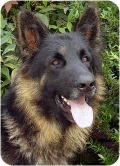 German Shepherd Dog Dog for adoption in Los Angeles, California - Maurice von Munich