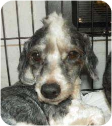Poodle (Miniature) Dog for adoption in Mary Esther, Florida - Mo