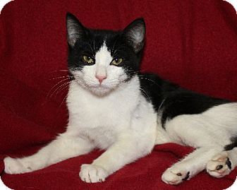 Domestic Shorthair Cat for adoption in Rochester, New York - Percy