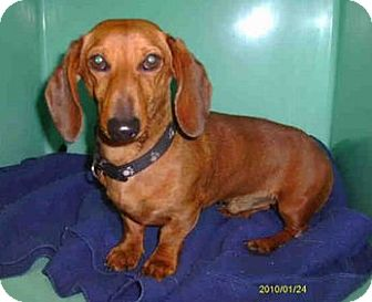Dachshund Mix Dog for adoption in Yuba City, California - 12/17 Unnamed