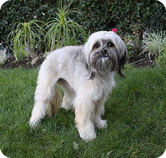 Lhasa Apso/Poodle (Miniature) Mix Dog for adoption in Newport Beach, California - LONDON
