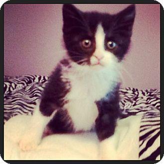 Domestic Mediumhair Kitten for adoption in Walker, Louisiana - Wally