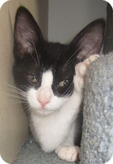 Domestic Shorthair Kitten for adoption in Westminster, California - Nadia