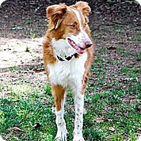 Adopt A Pet :: Holly - PENDING - Savannah, GA