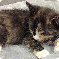 Adopt A Pet :: Barbie - Chandler, AZ