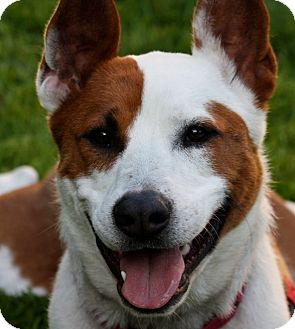 Bull Terrier/Australian Cattle Dog Mix Dog for adoption in Los Angeles, California - Omie