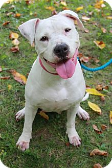 American Pit Bull Terrier Mix Dog for adoption in Reisterstown, Maryland - Isis