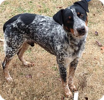 Blue Heeler Mix Dog for adoption in Hickory Creek, Texas - Sport