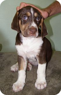 Hound (Unknown Type)/Australian Shepherd Mix Puppy for adoption in El Cajon, California - Baxter