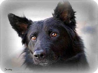 Border Collie Mix Dog for adoption in Vista, California - Scotty