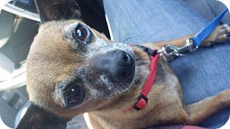 Chihuahua Dog for adoption in Goodyear, Arizona - Charlie