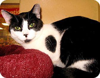 Domestic Shorthair Cat for adoption in Colmar, Pennsylvania - Shirley