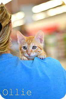 Domestic Shorthair Kitten for adoption in Mansfield, Texas - Ollie