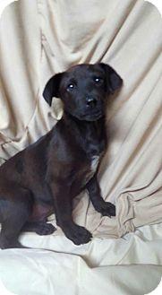 Feist Mix Puppy for adoption in Lyndhurst, New Jersey - Nick