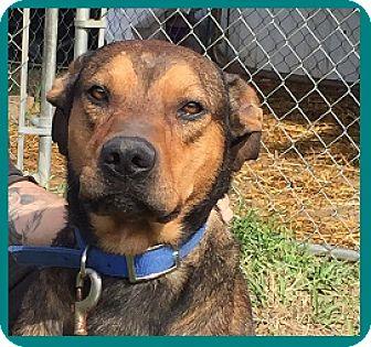 German Shepherd Dog/Hound (Unknown Type) Mix Dog for adoption in Greensboro, North Carolina - SCOOBY
