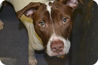 German Shorthaired Pointer Mix Dog for adoption in Edwardsville, Illinois - Timmy