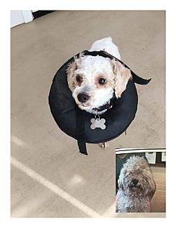 Miniature Poodle/Maltese Mix Dog for adoption in Lodi, California - Little Eddie