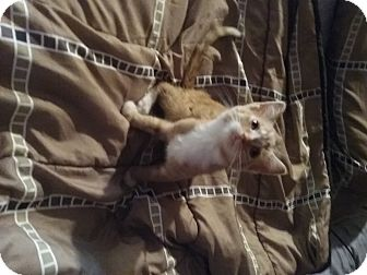 Domestic Shorthair Kitten for adoption in Mount Perry, Ohio - Simba