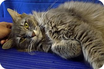 Maine Coon Cat for adoption in LAFAYETTE, Louisiana - ATTICUS