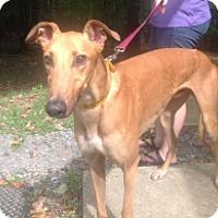 Adopt A Pet :: Nor'Easter - Gerrardstown, WV