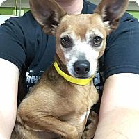 Chihuahua Dog for adoption in Joplin, Missouri - Enchilada