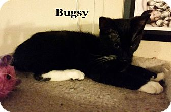 Domestic Shorthair Cat for adoption in Bentonville, Arkansas - Bugsy