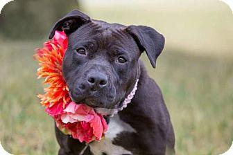 Terrier (Unknown Type, Medium) Mix Dog for adoption in Flint, Michigan - Brenda - Foster Home