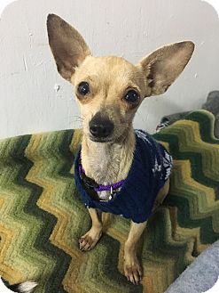 Chihuahua Mix Dog for adoption in Danbury, Connecticut - Grace