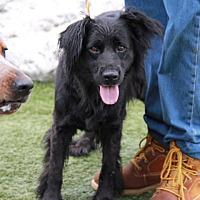 Adopt A Pet :: Shirly - Greensboro, NC