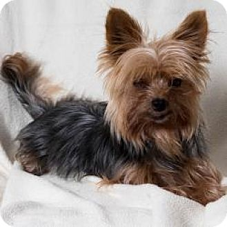 Yorkie, Yorkshire Terrier Dog for adoption in Seminole, Florida - Scooter