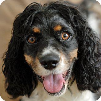 Cocker Spaniel/Springer Spaniel Mix Dog for adoption in Newington, Virginia - Bentley Boy
