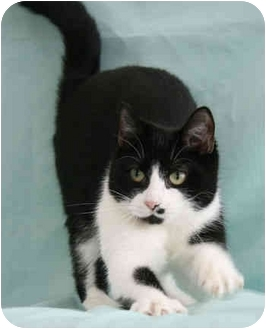 Domestic Shorthair Cat for adoption in Port Hope, Ontario - Patsy