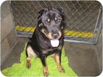 Rottweiler/Shar Pei Mix Dog for adoption in Tracy, California - Zach