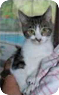 Domestic Shorthair Kitten for adoption in Tampa, Florida - Pete