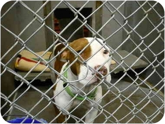 American Pit Bull Terrier Mix Dog for adoption in Shoreline, Washington - Sharla