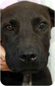 Labrador Retriever Mix Puppy for adoption in Chapel Hill, North Carolina - Josh